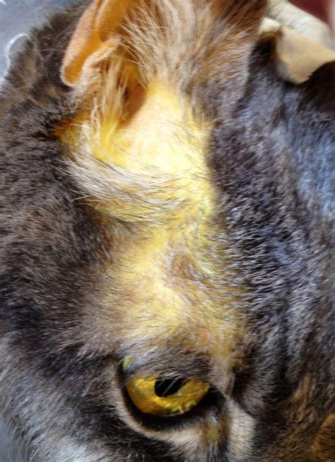 feline herpes liver picture 17