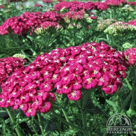 cut back yarrow picture 3