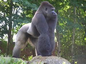 gorillas penis picture 6