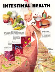 intestinal bacteria that makes you gain weight picture 5