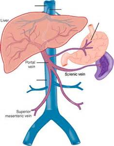 liver anatomy picture 3