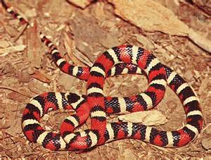 aging your king snake picture 7