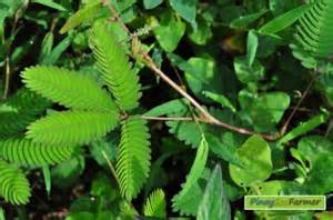 herbal plant for myoma treatment in the philippines picture 1