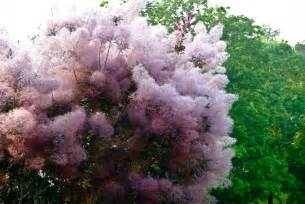 smoke tree or smoke bush picture 1