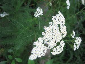 yarrow herb picture 7