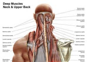 anatomy deep back muscle picture 1