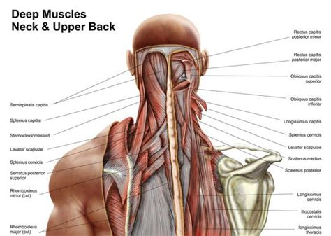 deep back muscle mustavius picture 7