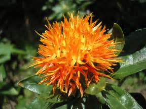 safflower picture 3