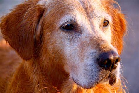 canine hyperthyroid meds picture 14