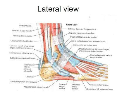 ankylet muscle picture 14