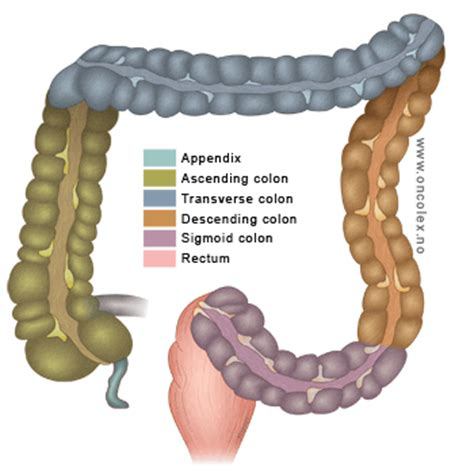 fat cells in the sigmoid colon picture 8