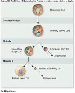 testosterone is produced by what cells picture 14
