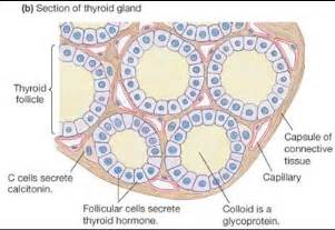 colloid and follicular cells in thyroid picture 13