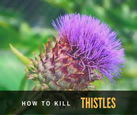 how to kill thistles picture 1