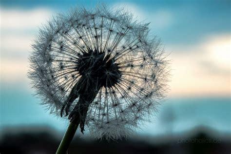 dandelion picture 5