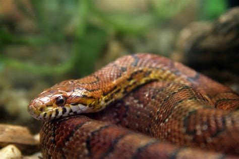 loss of appee in corn snakes picture 2