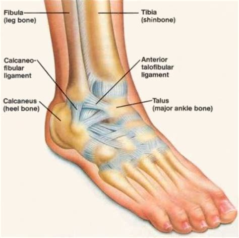 ankle joint picture 6