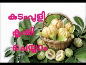 where can i buy garcinia gummi-gutta fruit in picture 1