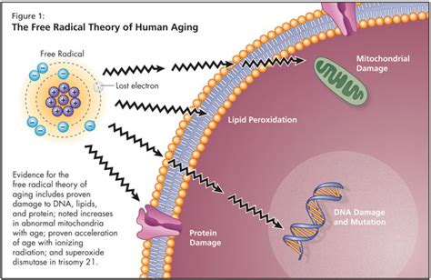 theory on aging of cells picture 3