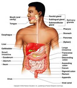 anatomy digestion picture 9