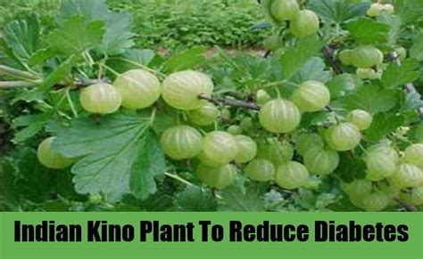 ayurvedic cure from kadamba tree extract for diabetes picture 1
