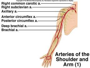 upper extremity of blood circulation picture 3