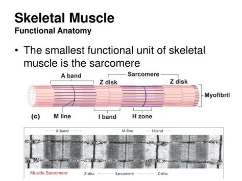 functional unit of the muscle picture 13