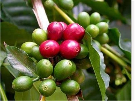 does green coffee beans cause frequent urination picture 6