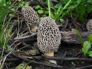 sac fungi picture 7
