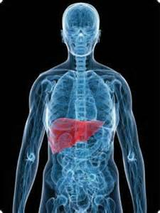 liver in a human body picture 2