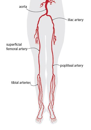 lower leg artery anatomy on web md picture 11