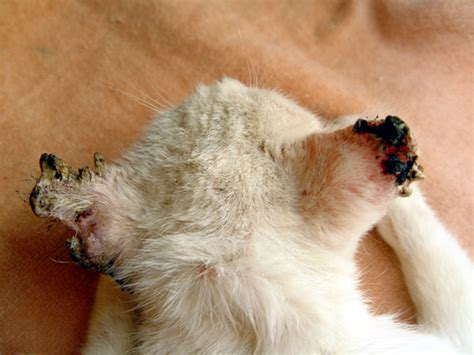feline skin lesions picture 3