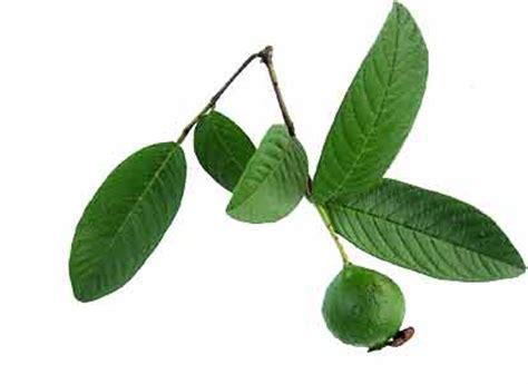 dahon ng bayabas herbal picture 3
