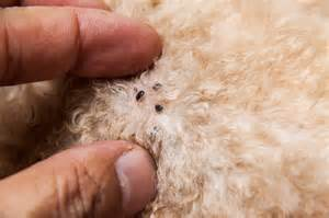 pictures of skin mites on dogs picture 1