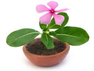anong mga herbal na gamot sa panglaglag ng picture 17