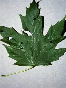 gall bladder hydrangea picture 6