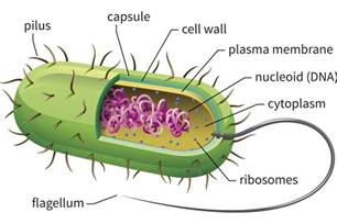 bacterial picture 11
