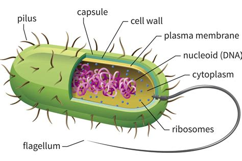 bacterial picture 6