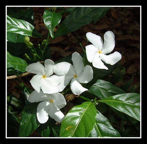 crepe jasmine conolidine capsules picture 5