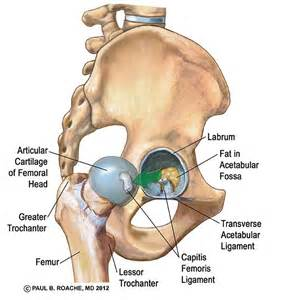 anatomy of the hip joint picture 11