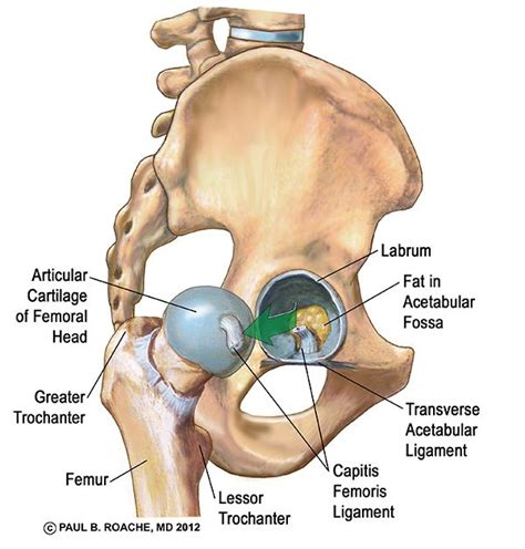 anatomy of hip joint picture 14