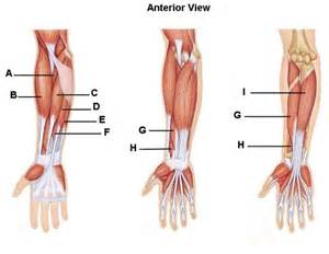 forearm muscle picture 6