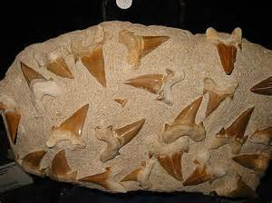 fossilized shark teeth picture 15