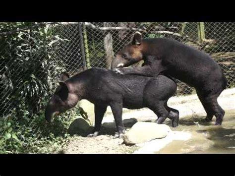 tapir sex picture 15