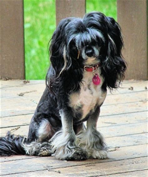 chinese crested dog skin disease picture 9