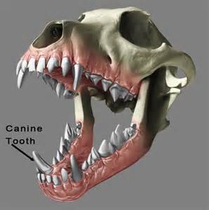 dogs teeth picture 7