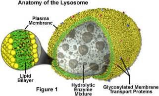 digestive vacuole picture 6