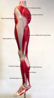lateral lower leg muscle picture 7