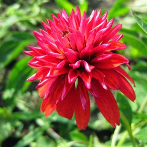 echinacea after midnight picture 11