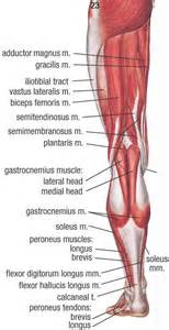 lower extremitie muscle picture 7